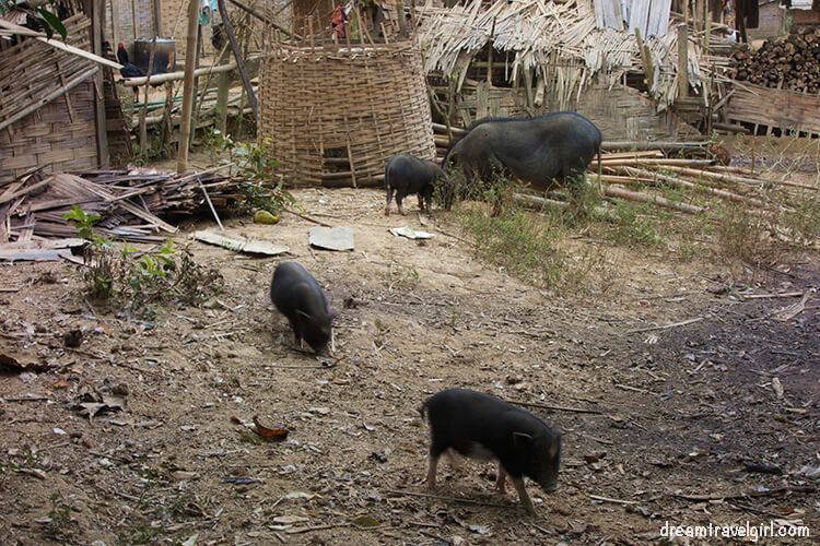 Laos_Huay-Bo_pigs