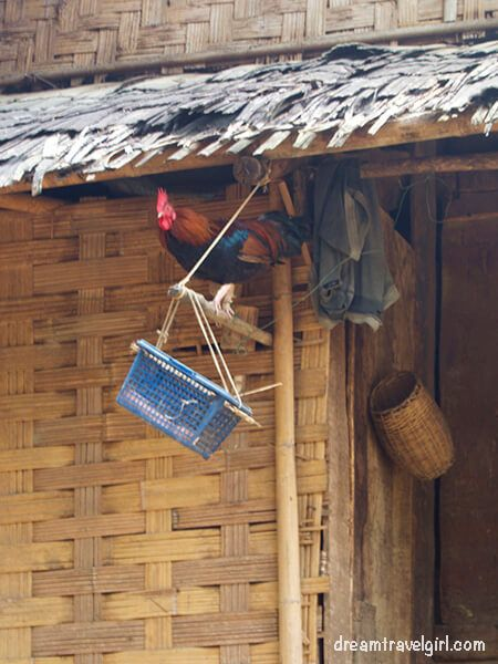 Laos_Huay-Bo_rooster