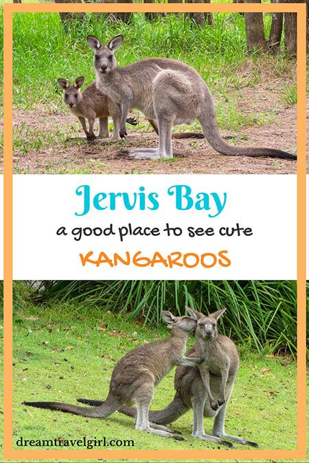 Jervis Bay: a good place to see cute kangaroos