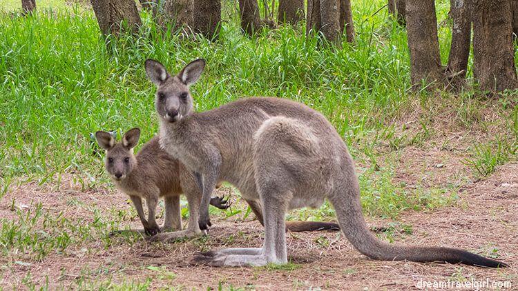 Australia_Jervis-Bay_ kangaroos04