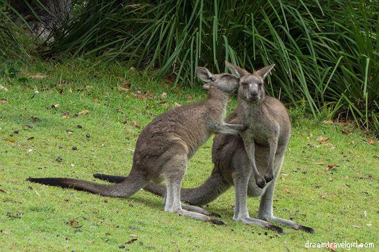 Kangaroos in Jervis Bay