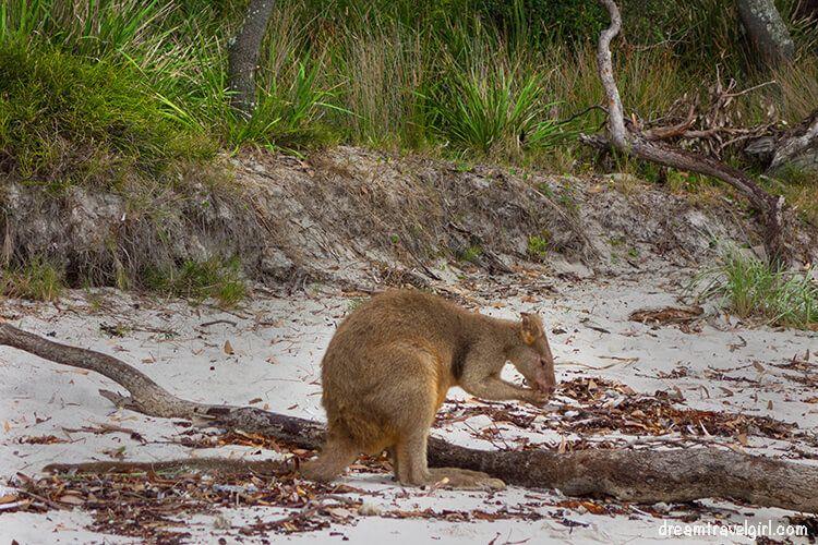 Australia_Jervis-Bay_ kangaroos07