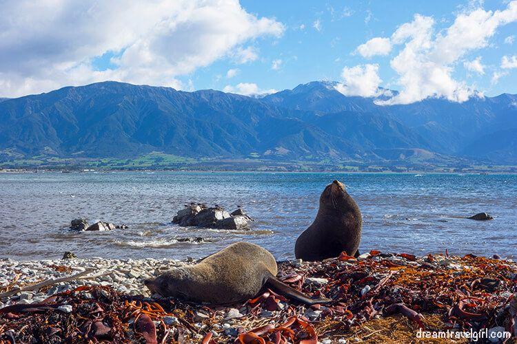 Seals in Kaikoura