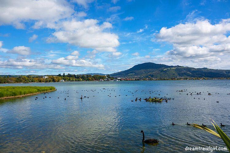 New-Zealand_Rotorua_Rotorua-lake06_birds