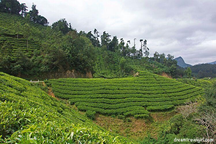 India_Munnar07_plantations
