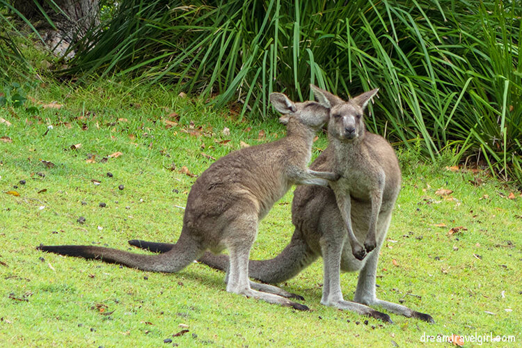 Canguros en Jervis Bay, Australia