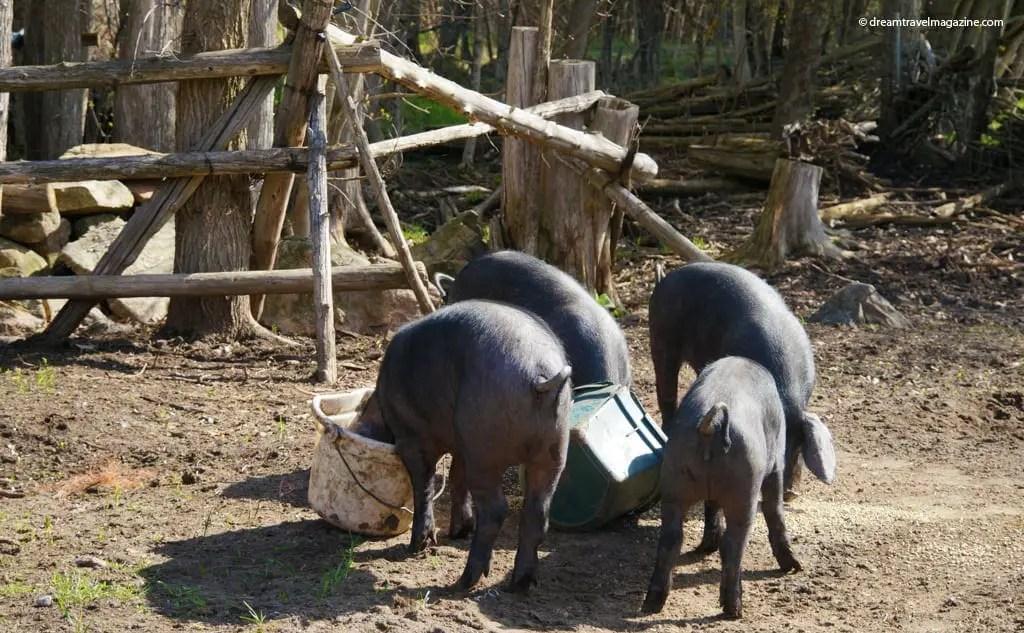 Viamede Resort_2014_Kawarthas_farm_pigs
