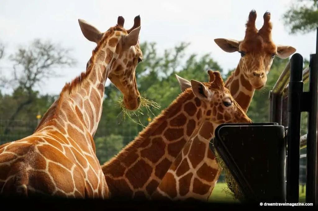 San-Antonio-Wildlife-Ranch-African-Safari-Texas-46