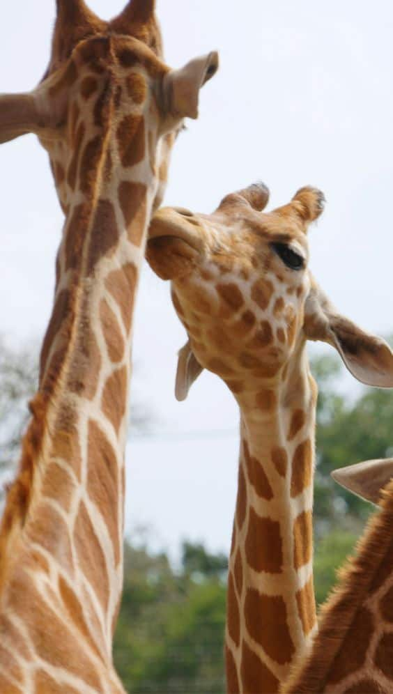 The San Antonio Texas Wildlife Safari gives you a great opportunity to get up close to these amazing creatures. From meeting a giraffe up close to driving through safari grounds this attraction is sure to provide some thrills for everyone.