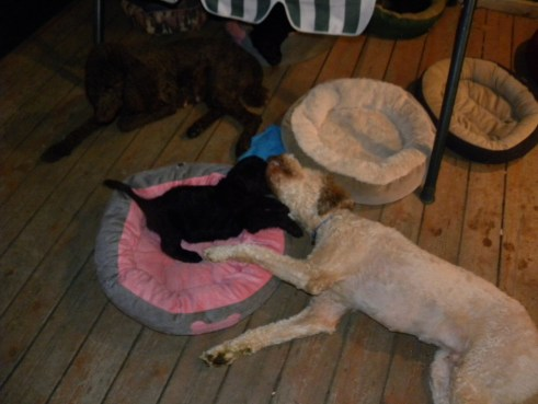 Our puppies and dogs laying on the deck in the evening..