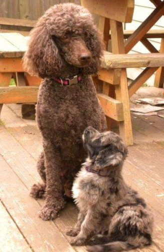 Daisy and Mattie - Mommy and Aussiedoodle Baby