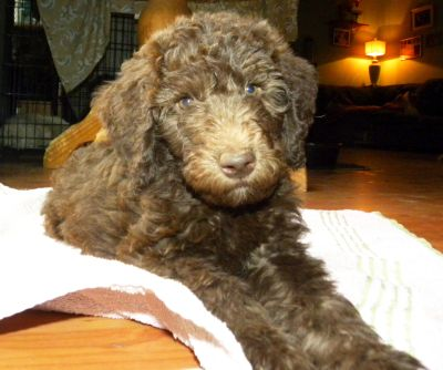 Tippy - Red Girl - F1b Labradoodle