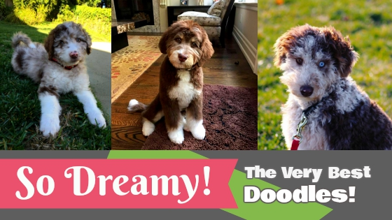 Available Labradoodle and Aussiedoodles in Washington & Oregon - Dreamydoodles Northwest