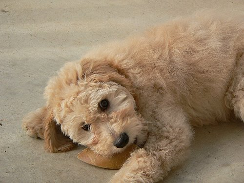 Training Your New Labradoodle Aussiedoodle Or