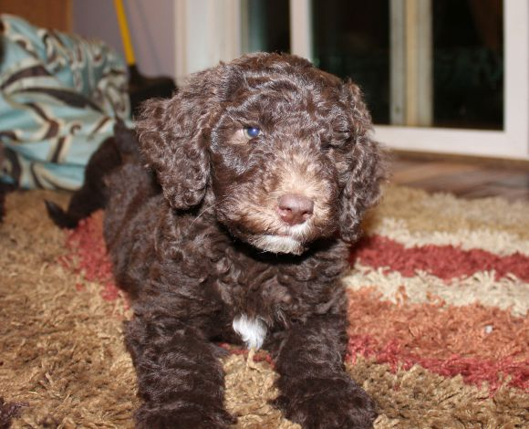 Chocolate Multigen Labradoodle Puppy
