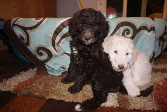 Some of our Adorable Multigen Labradoodle Puppies