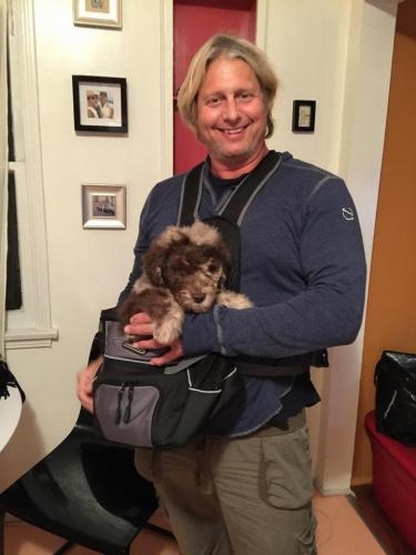 """9 week old Standard F1 Aussiedoodle """"Kula"""" and Syd... in his baby front pack carrier"""