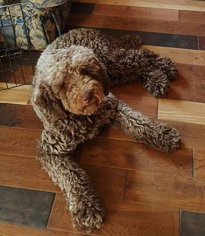 bella multigen labradoodle mom
