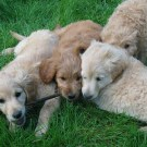 Golden and Cream Goldendoodles