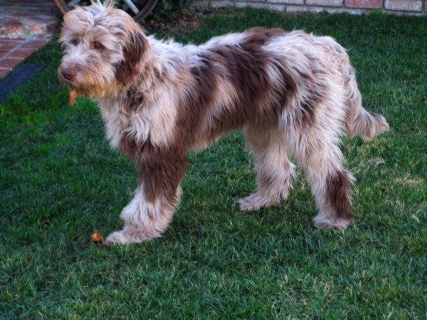 Red Merle F1 Standard Aussiedoodle Adult