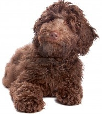 Chocolate Labradoodle Puppy - Dreamydoodles