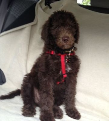 Rio - Multigen Labradoodles from Tippy and Hershey