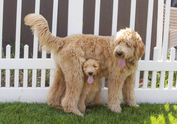 Goldendoodle Mom and her puppy