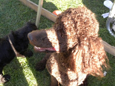 Daisy - Standard Poodle