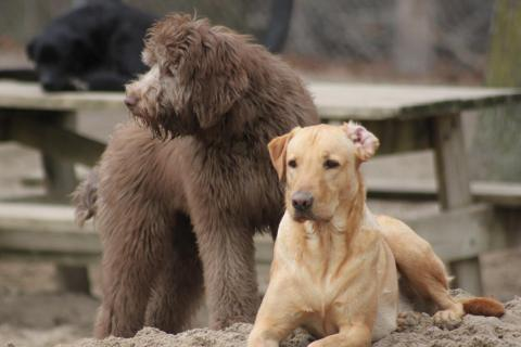 The 7 Puppy Stages- Aussiedoodle and Labradoodle Puppies ...
