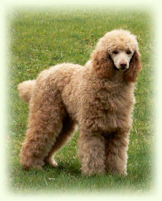 Are Miniature Poodles Good Apartment Dogs