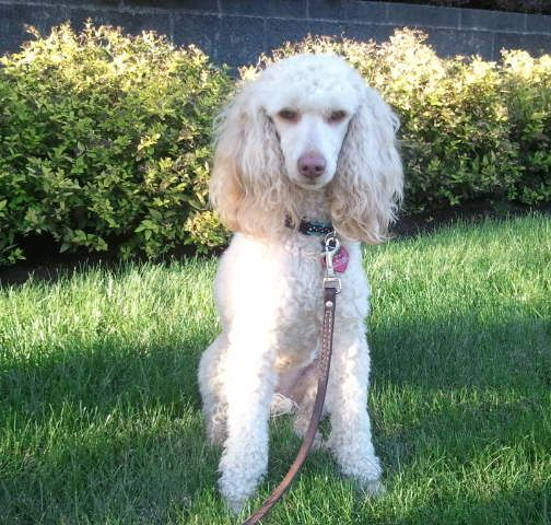Molly – CKC Moyen Poodle- Aussiedoodle and Labradoodle