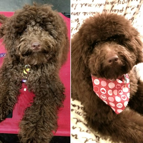 "Mini Aussiedoodle ""Goose"" - Before and After Her First Groom"