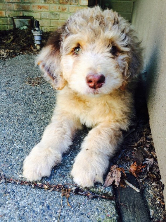 Red Merle F1 Standard Aussiedoodle Puppy laying down