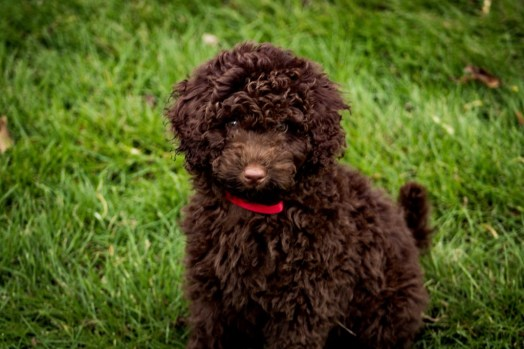 Chocolate F1B Mini Aussiedoodle puppy in the grass!