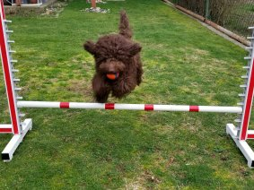 Mini Aussiedoodle Goose jumping poles in agility