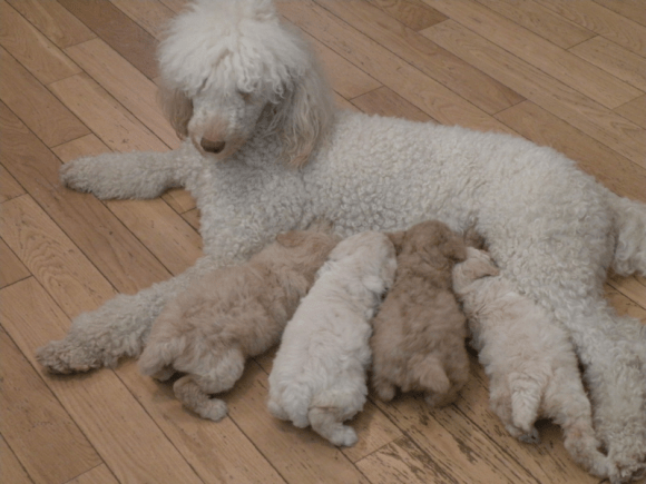 Moyen Poodle Puppies - Moyen Puppy Litter - Treating Coccidia in Puppies