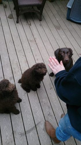 Rasta and Ivy - Standard Poodle Puppies Training