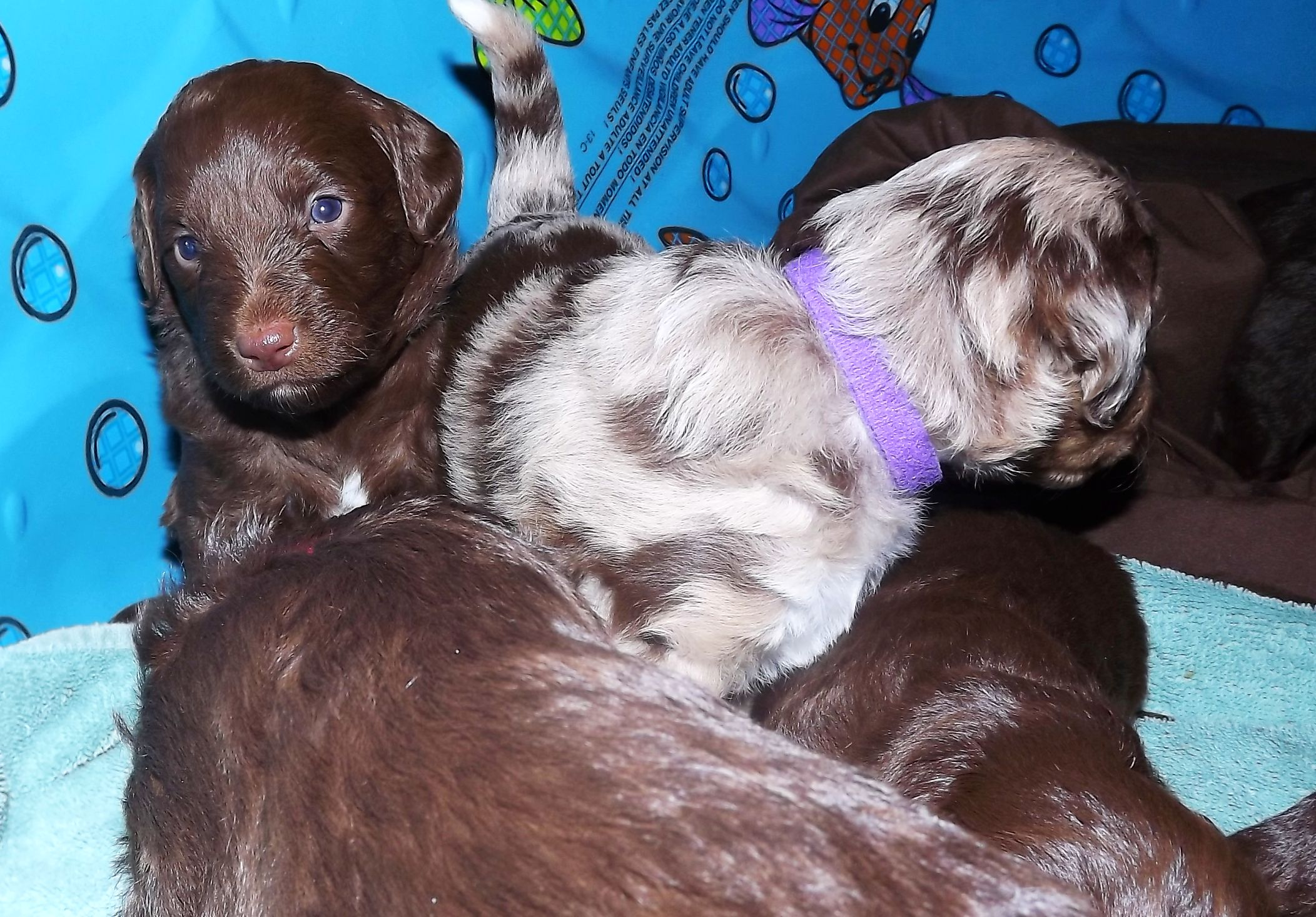 Mini F1 Aussiedoodle Puppies for Sale- Aussiedoodle and