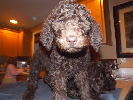 Jack  - Available - Multigen Labradoodle