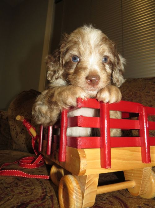 Red Merle Mini Aussiedoodle Puppy