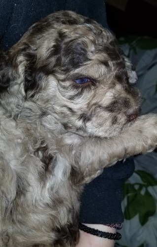 Red Merle Multigen Labradoodle - Yellow Collar Boy - 3 1/2 wks old - Available Labradoodle Puppies Washington State