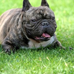 French Bulldog can not mate or reproduce or give birth naturally - What is wrong with this picture?  Why are we breeding them still?