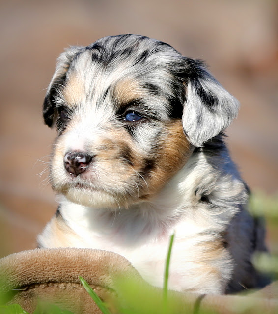 Our Recommended Aussiedoodle Breeders List Aussiedoodle And
