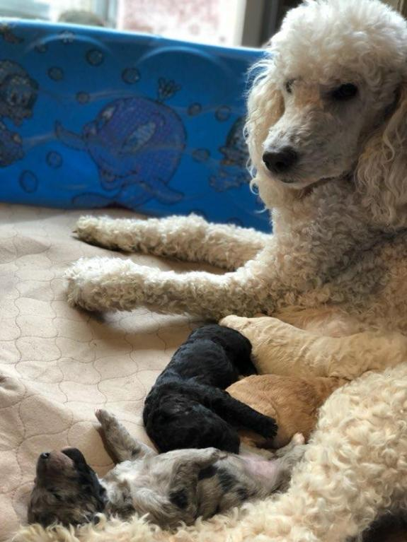 Pele and Her Litter of Beautiful Labradoodle Puppies - 1 wk old