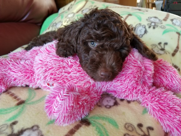 Dreamydoodle Chocolate Mini Aussiedoodle Puppy