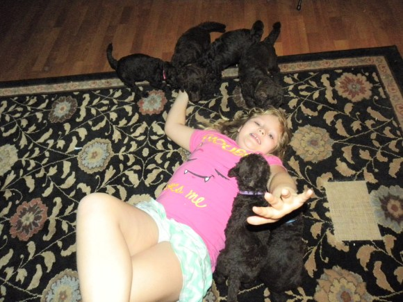 LITTER OF F1B LABRADOODLE PUPPIES PLAYING WITH MY LITTLE GIRL