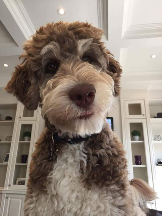 Tuuka - F1 Aussiedoodle Male (Not Available)