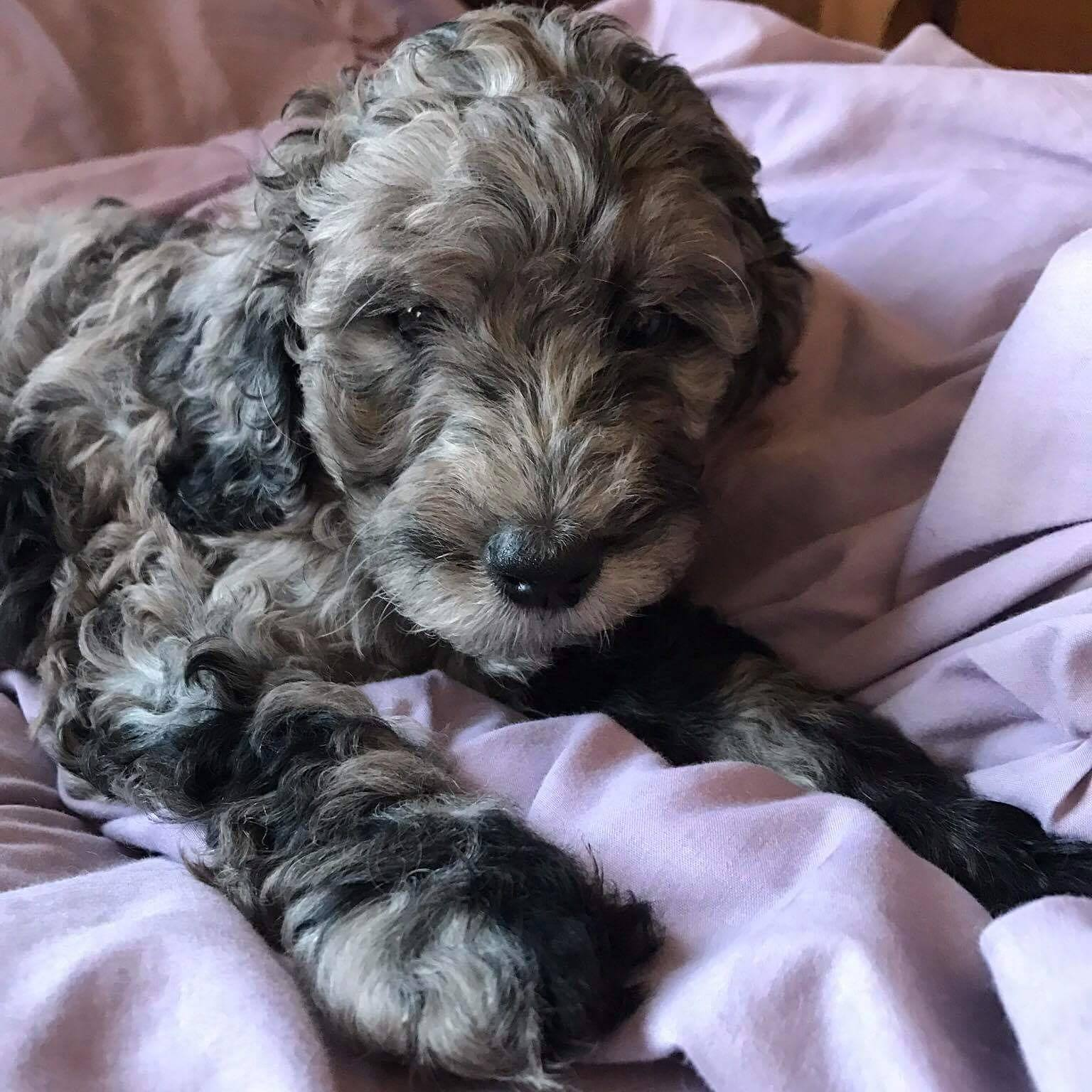 Deworming puppies with safeguard fenbendazole 10 100 mgml apollo as a puppy blue merle multigen labradoodle puppy deworming puppies nvjuhfo Image collections