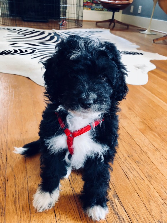 DREAMYDOODLES PARTI BLACK QND WHITE PUPPY IN HER HARNESS