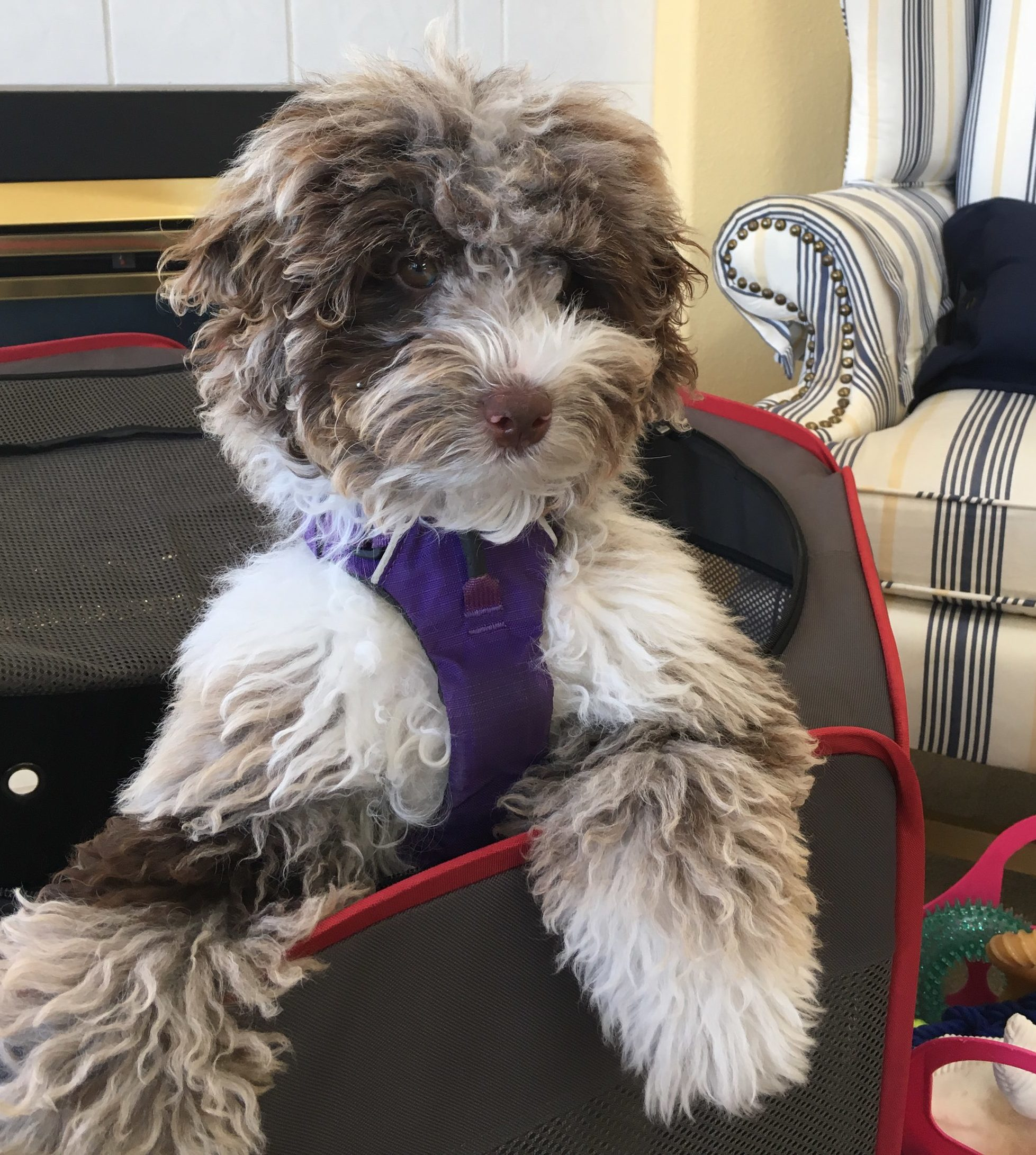DreamyDoodles Northwest - Labradoodles and Aussiedoodles in